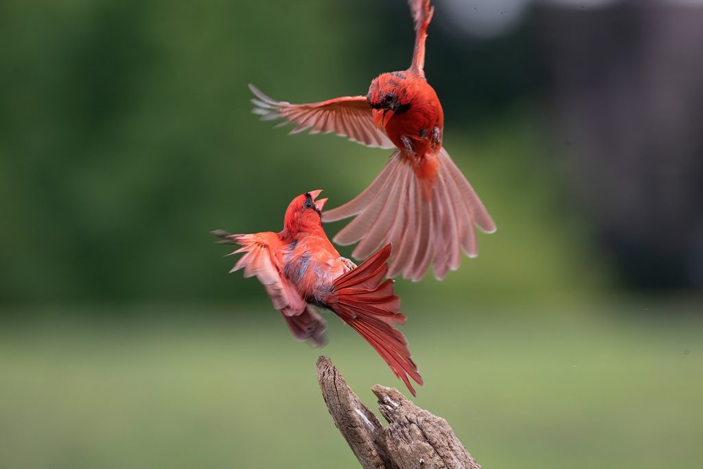 Cardinals fighting
