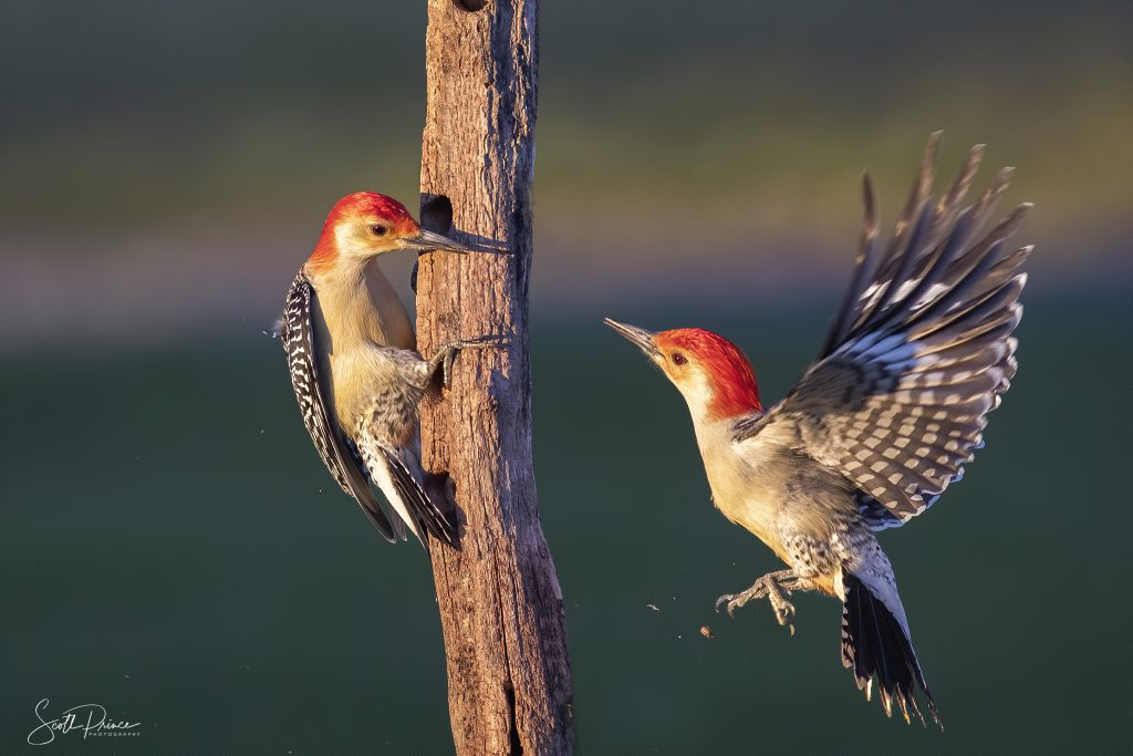 red bellied woodpecker flying