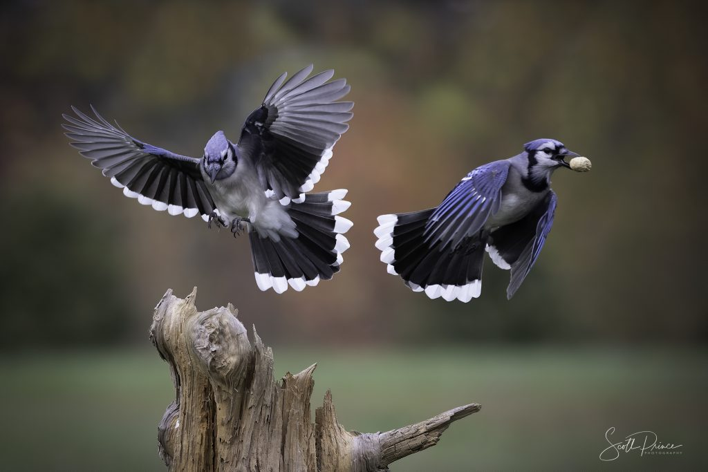 bluejays flying